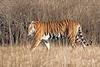 Bengal Tiger ~ Female ~ at Kanha Wildlife Refuge