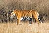 Female Bengal Tiger at Kanha Wildlife Refuge
