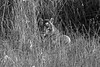 Bengal Tiger Blending in the grass ~ Kanha National Park, India
