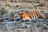 Bengal Tiger ~ Male ~ at Kanha Wildlife Refuge