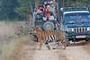 Bengal Tiger passing close to vehicles at Kanha Wildlife Refuge