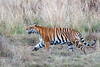 Bengal Tiger at Kanha National Wildlife Refuge  looking for escape route