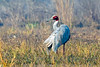 Sarus Crane at Keoladeo National Park, India