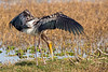 Painted Stork Eating