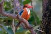 White-throated Kingfisher at Bandhavgarh National Park