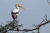 Painted Stork in Tree