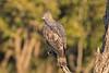 Crested Hawk Eagle at Kanha National Park, India