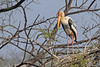 Painted Stork at Keoladeo National Park ~ Bharatpur Bird Sanctuary