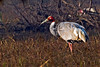 Sarus Crane at Bharatpur~Keoladeo National Park, India
