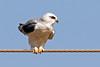 Black-winged Kite - India