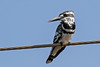 Pied Kingfisher - India