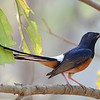 Asian Paradise-flycatcher (2)