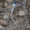 Asian Paradise-flycatcher-6