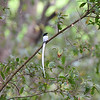 Asian Paradise-flycatcher-82