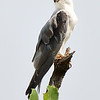 Black-winged Kite-2