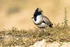 River Lapwing at National Chambal Wildlife Sanctuary, India