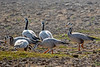 Bar-headed Goose at Chambal River, India
