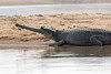 Gharial crocodile at National Chambal Gharial Wildlife Sanctuary, India