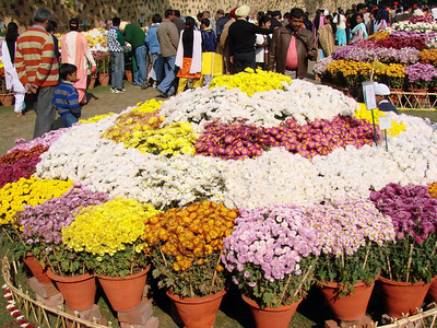 Chrysanthemum show - Terraced garden - Chandigarh