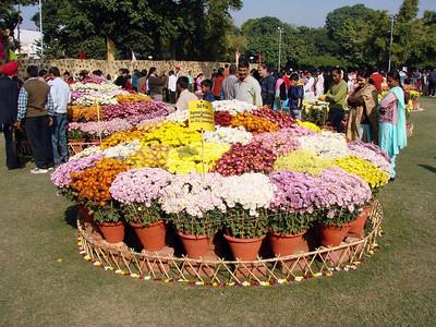 Chrysanthemum show - Terraced garden - Chandigarh