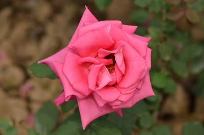 Roses in Rose Garden Chandigarh - 2011
