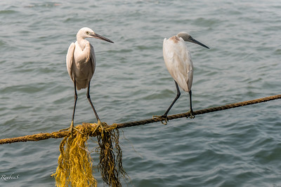 Egrets toeing the line