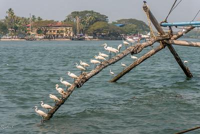 Row of Egrets