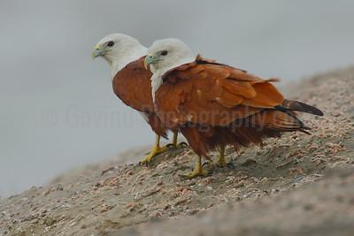 Brahminy Kites