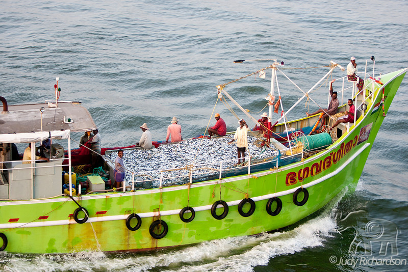 Fishing boat displaying large catch as they come into Cochin Harbor, India on the Arabian Sea.