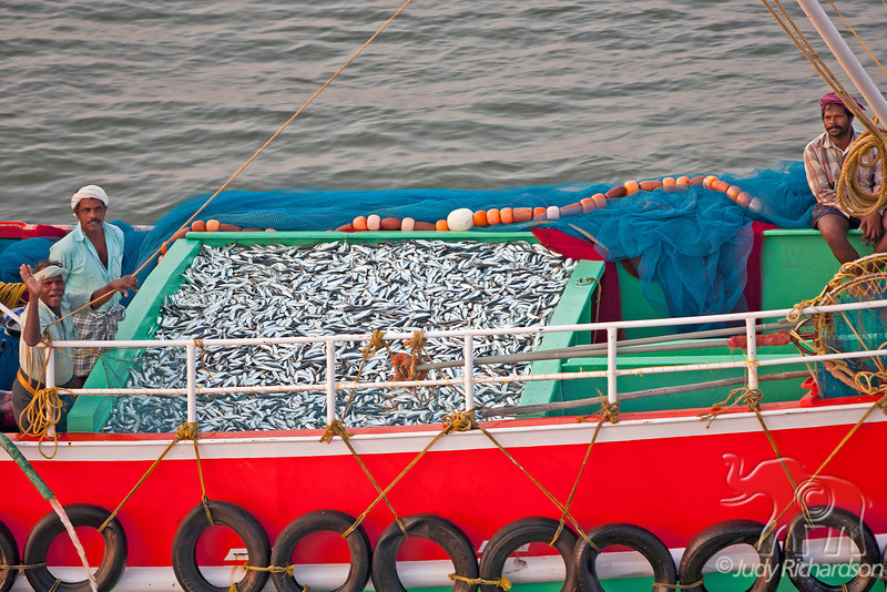 Fishing boat displaying large catch as they come into Cochin Harbor on the Arabian Sea.