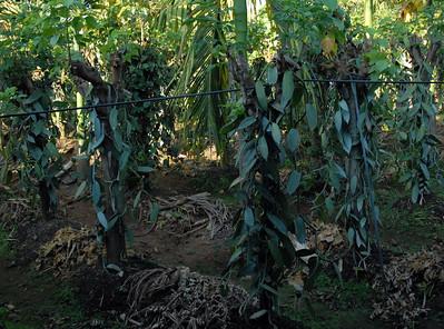 Vanilla plants
