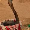 Spitting cobra, Delhi
