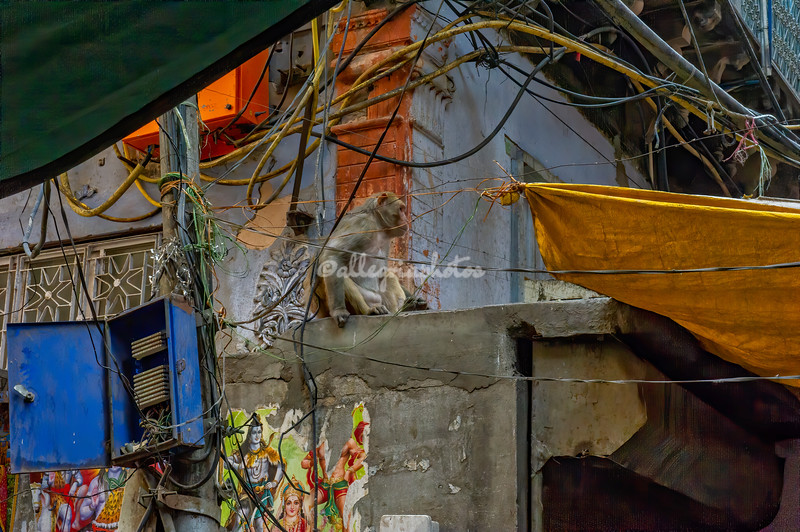 Typical street scene in Old Delhi with Rhesus Macaque monkeys
