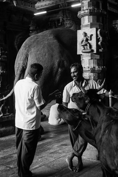 Men with Sacred Cows and Elephant, Sri Meenakshi Temple, Madurai
