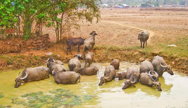 Water buffalo, Goa, India