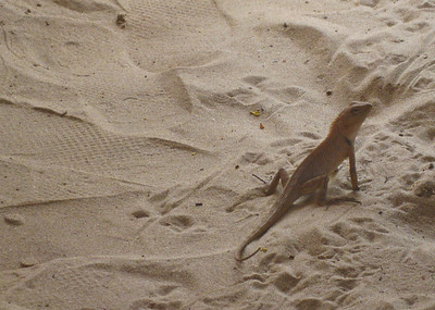 Beach lizard - Goa, India