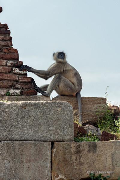 Gray langur monkey on the fortress wall, Champaner, Gujurat