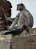 Indian house crow (Corvus splendens) with monkey on fortress wall, Champaner, Gujurat