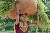 Portrait of a working woman.<br /> <br /> Woman carrying a bundle of fodder on her head, Champaner-Pavagadh Archeological Park in Gujurat State, west of Vadodara (formerly Baroda), India. This area is a UNESCO World Heritage site with a blend of Hindu and Moslem ancient sites from pre-historic to the 16th century.