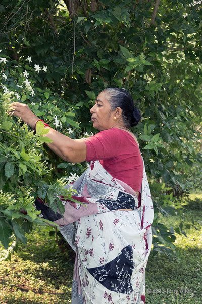 Woman picking night flowering jasmine, (Nyctanthes arbor-tristis), Champaner, Gujurat