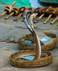 Cobra snakes being charmed at the Hampi Ruins in Karnataka India