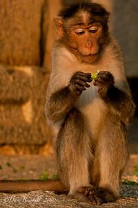 A Monkey eating at the Hampi Ruins in Karnataka India