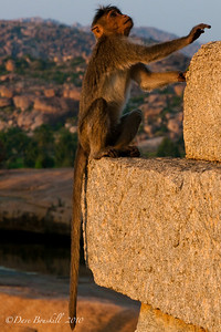 Monkeys at the Hampi Ruins in Karnataka India