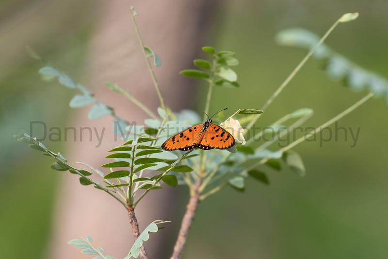Tawny Coster<br /> Telangana, India
