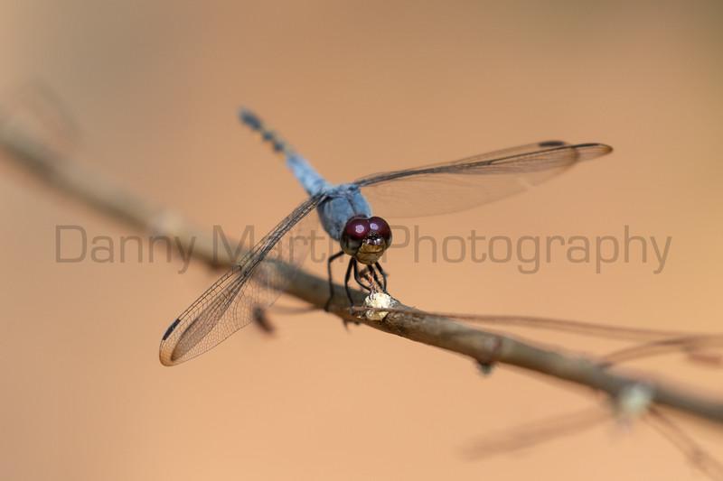 Swampwatcher (Yellow-tailed Ashy Skimmer)<br /> Kerala, India