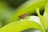 Branded Swift (Pelopidas sp.)<br /> Kerala, India