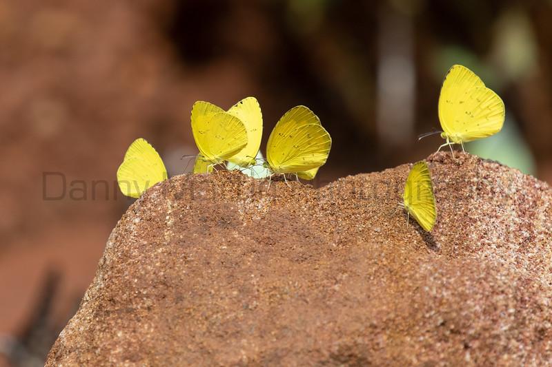 Common Grass Yellow<br /> Telangana, India