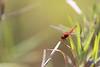 Scarlet Skimmer (male)<br /> Kerala, India