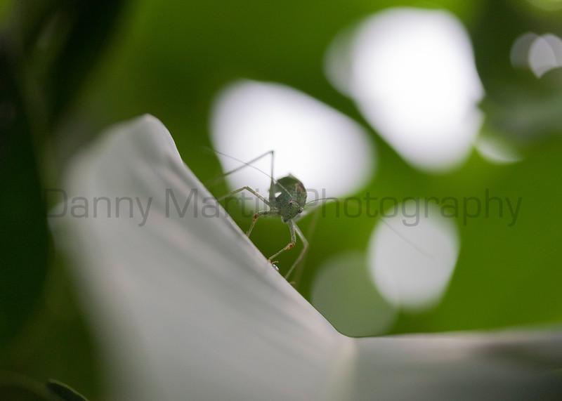 Katydid sp.<br /> Kerala, India