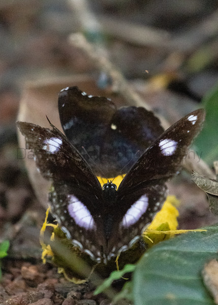 Great Eggfly<br /> Kerala, India